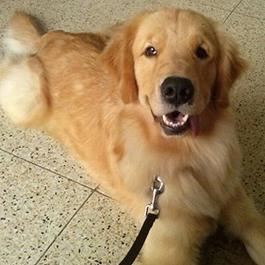 NINA – GOLDEN RETRIEVER