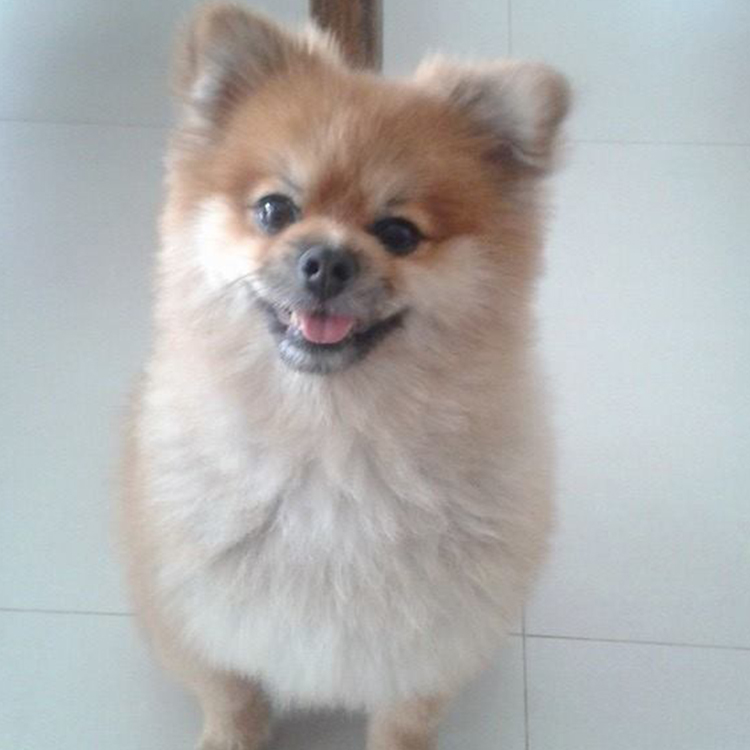 PUCK 2- OBEDIENCIA – DOG WALKER – LULU DA POMERANIA